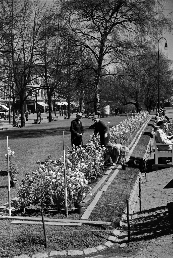 The park workers plant flowers on the Runeberg Esplanade. On the right side of the trees the yarnstone and the North Esplanadi 23.